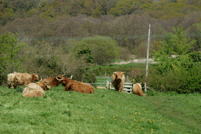Highland Cattle, Alverstone, Isle of Wight