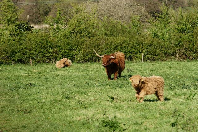 Highland Cattle, Alverstone, Isle of Wight