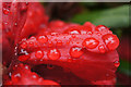 NO2023 : Raindrops on a Rhododendron flower, Glendoick Gardens by Mike Pennington