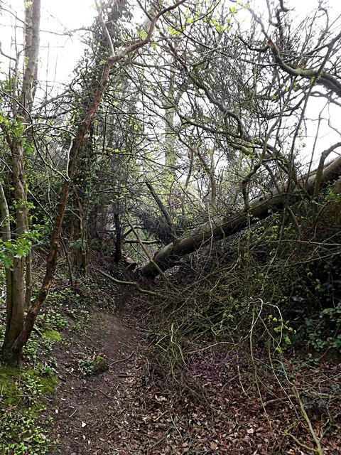 Fallen Tree across Loves Lane footpath