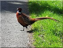 H1860 : Pheasant at Glenkeen by Kenneth  Allen
