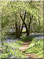 ST6464 : More bluebells beyond by Neil Owen