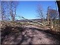 NJ6301 : This tree in Crow Wood was not felled - - by Stanley Howe