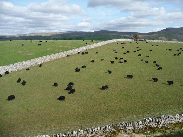 Black sheep grazing north of Hillside Farm