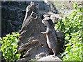 SD4214 : Otter at Martin Mere (1) by David Dixon