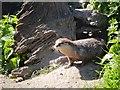 SD4214 : Otter at Martin Mere (2) by David Dixon