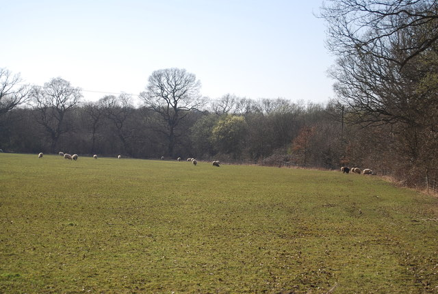 Sheep grazing, Mundy Bois by N Chadwick
