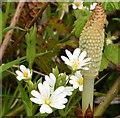 J3886 : Stitchwort and horsetail ferns, Trooperslane, Carrickfergus by Albert Bridge