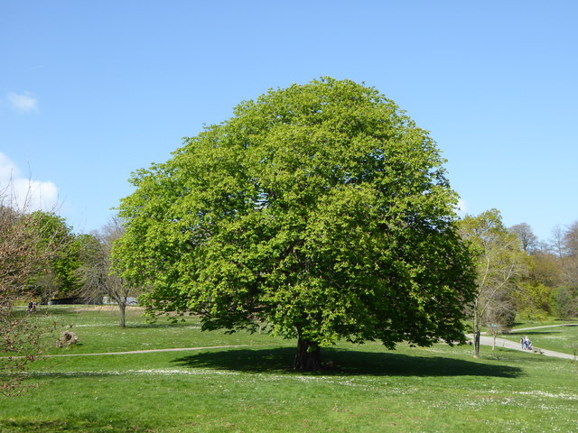 A Horse Chestnut tree in Singleton Park © Rod Allday cc-by-sa/2.0 ::  Geograph Britain and Ireland
