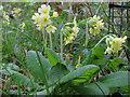 TL5741 : Oxlip (Primula elatior), Shadwell Wood by Roger Jones