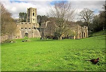 SE2768 : Fountains Abbey with pheasant by Derek Harper