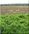 TF9635 : Cow parsley growing on verge by Evelyn Simak