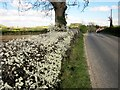 SE3064 : Blackthorn by the road to Wormald Green by Derek Harper