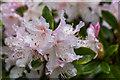 TQ3499 : Rhododendron, Myddelton House, Enfield by Christine Matthews