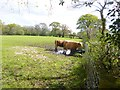 SY9491 : Organford, cattle grazing by Mike Faherty