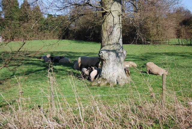 Sheep hiding by N Chadwick