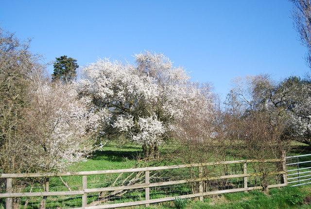 Blossom by N Chadwick