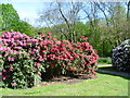 TQ4778 : Rhododendrons in flower near Lesnes Abbey by Marathon