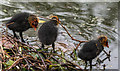 TQ3296 : Young Coots, New River Loop, Enfield by Christine Matthews