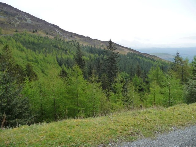Conifers in the valley of Scalebeck Gill
