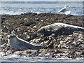 NU2235 : Seals, Big Scarcar by N Chadwick