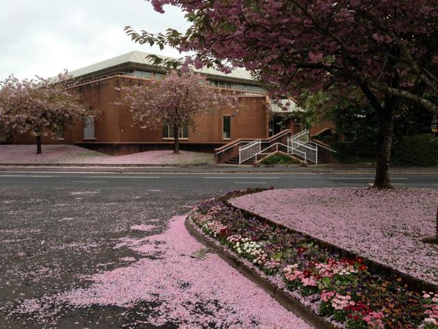 Cherry blossom petals, Omagh