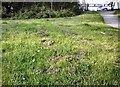 SJ9594 : Daisies at Swains Valley by Gerald England