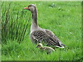 SD4875 : Greylag goose and gosling by sylvia duckworth