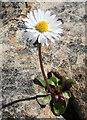 NM4788 : Daisy (Bellis perennis) by Anne Burgess