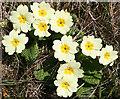 NM4788 : Primrose (Primula vulgaris) by Anne Burgess