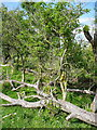 TL1129 : Elder trees, Pegsdon Hills Nature Reserve by Humphrey Bolton