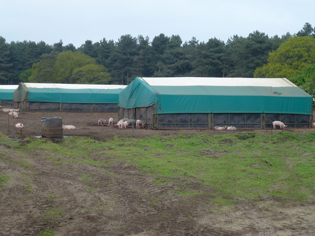 Pig farming at Shouldham Warren, Norfolk