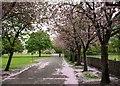 NS9880 : Cherry tree blossom at Kinneil House by Greg Fitchett