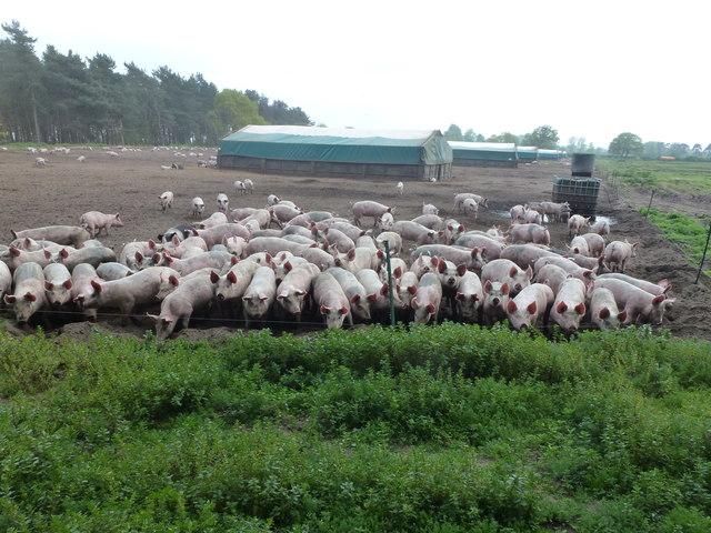 A field full of pigs near Shouldham Warren
