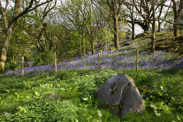 Bluebells on the hillside