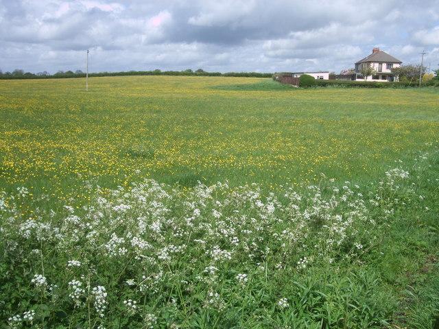 Buttercup meadow near Greatfield