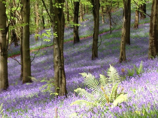 Bluebells in Wentwood