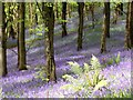 ST3993 : Bluebells in Wentwood by richard wyson