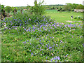 TG2626 : Bluebells by St Michael's church, Swanton Abbott by Evelyn Simak