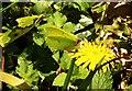 SX7272 : Brimstone, Grey Park Wood by Derek Harper