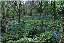 SP5606 : Bluebells in the undergrowth in Shotover Country Park by Bill Boaden