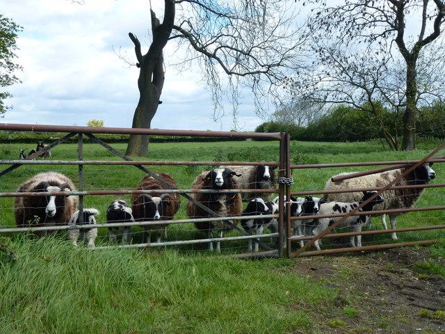 Sheep behind a gate near Marholm