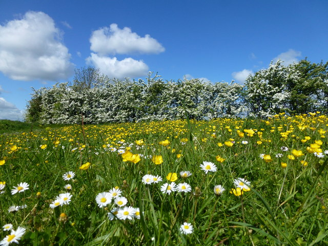 Buttercups, daisies and hawthorn blossom
