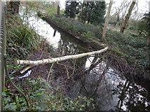 TM1645 : Birch Tree over pond by Hamish Griffin