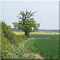 TL8347 : Tree on footpath across arable land, Glemsford by Roger Jones