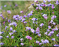 J4882 : Spring Squill, Bangor by Rossographer