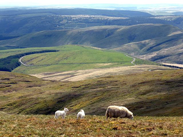 Sweet lambs above Sweet Lamb