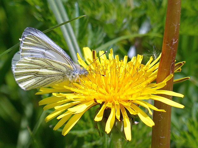 Green-veined White butterfly on a Dandelion