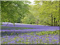 SW7936 : Bluebells at Parc Lye on the Enys Estate by Rod Allday