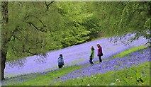 SO7641 : Bluebells on the Malverns by Bob Embleton